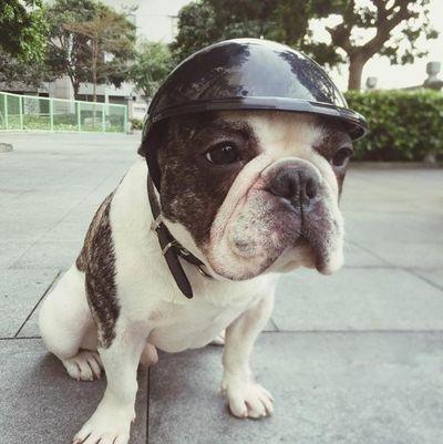 casco moto perro