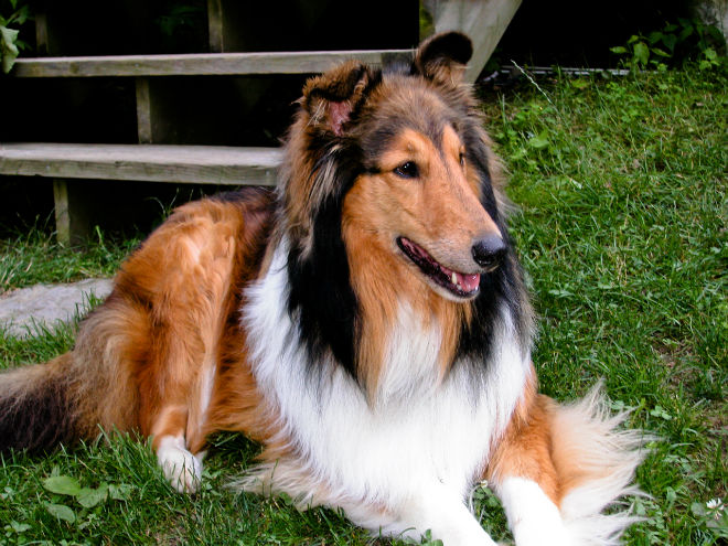 collie pelo largo